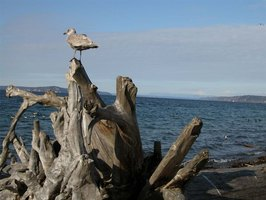 Driftwood at Edmonds Beach in Washington State