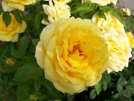 Yellow rose from Kelly Nuttall's garden