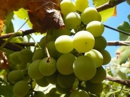 A backyard grape vine can be a source of delicious, plump grapes.