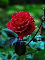 The blood red rose, symbolism of love, passion, and devotion.