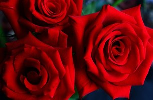 Red roses are a florist's best-seller.