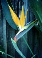New bird-of-paradise plants can be started from shoots.