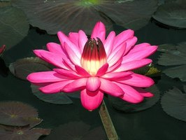 Grow pink lotus in your garden pond.