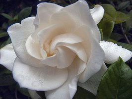 Gardenias are a fragrant addition to your garden.