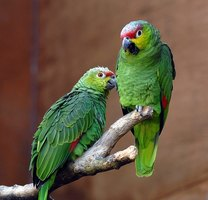 Feather plucking is a common behavior among sick or stressed captive parrots.