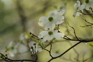 The white dogwood is an all-American favorite