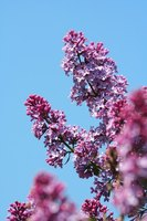The lilac tree scents the air in springtime with its heady fragrance.