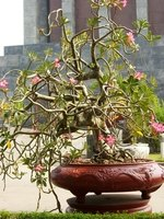 Rhododendrons make beautiful bonsai.