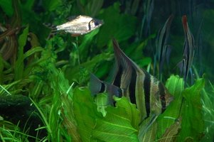 Aquarium plants must be maintained as an underwater garden.