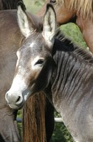 Donkeys live in a territorial social system rather than a heram system.