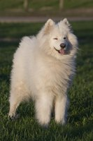Most common in small dogs, some samoyeds can develop luxating patellas.