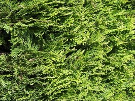 Arborvitae is just one type of dwarf evergreen plant.
