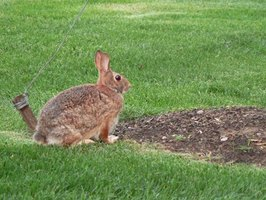 Rabbits in the wild eat a variety of plants.