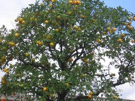 Most orange trees reach heights of 20 to 30 feet.