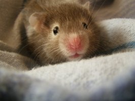 Most hamsters grow to about 6 inches in length, according to the ASPCA, and dwarf hamsters grow to 2 to 3 inches.