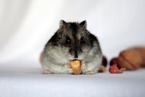 Pneumonia in hamsters needs to be treated right away.