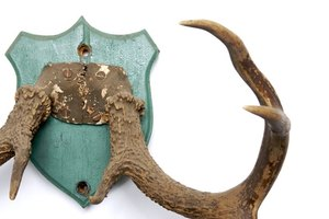 Learn how to properly maintain your mounted antler trophy