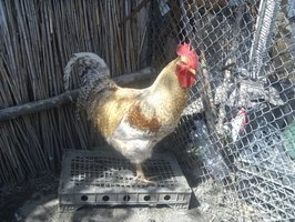 Chickens can suffer from flea infestations.