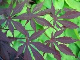The Japanese maple has long, thin maple leaves.