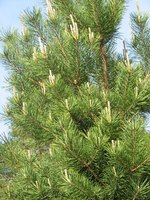 Spruce trees drop thick mats of needles that prevent grass from growing.