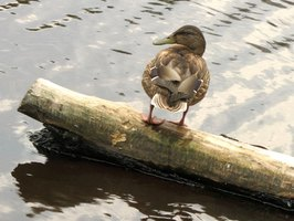 Wildlife enthusiasts can enjoy the many varieties of water fowl that frequent Lake Winnebago in the summer months.