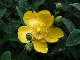 Hypericum Hidcote is known for its showy, long-lasting yellow flowers.
