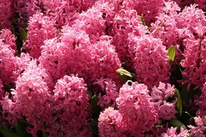 Hyacinth bloom in a variety of colors, including white, pink and blue.