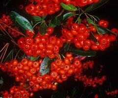 Female winterberry bushes produce an abundance of red fruit when planted near a compatible male bush.