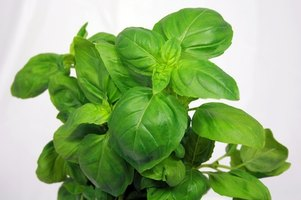 Basil can be grown indoors.