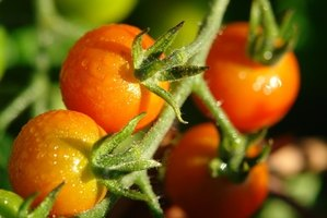 Keep your tomatoes healthy by preventing rust disease.
