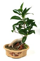 Bonsai ginseng ficus plants come in several different species.