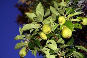 Damage to a pear tree's leaves can be indicative of disease.