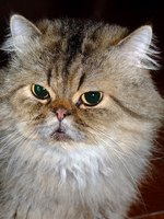 An Exotic Shorthair is like a Persian, only with a shorter coat.