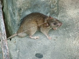 Remove rat feces at first sight to protect the health of you and your family.