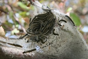 tent caterpillars leaving the nest