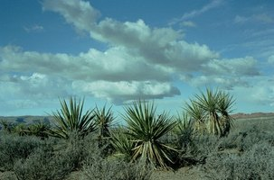 Yucca plants need proper watering.