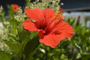 Hibiscus is a food source for ants and aphids.