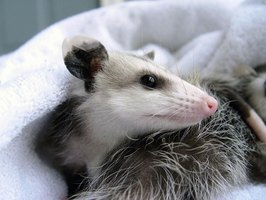 You can make your own opossum repellents.