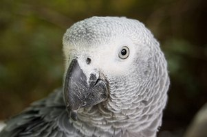 African grey parrots are powder down birds that produce large amounts of feather dust.