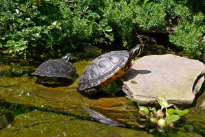 Red-bellied turtles are also known as red-bellied cooters.