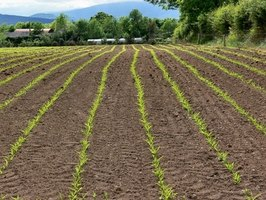 Most farmers use chemical fertilizers