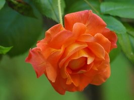 Orange roses have more of a citrus smell than a rose.