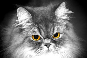 A Persian cat's eyes are prone to weeping.