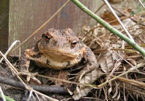 Toads are not very good swimmers.