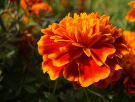 Marigolds keep root nematodes away from flowerbed soil.