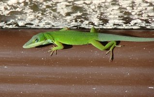 Anoles are primarily insect-eating reptiles.
