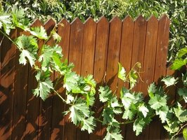 Select vines such as this robust grape, to soften a wood privacy fence.
