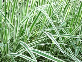 Variegated dwarf ornamental grasses are perfect ground cover plants.