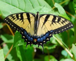 Tiger swallowtail butterfly perched on a tree