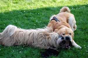 Dogs playing in the grass can cause stains on their coats.